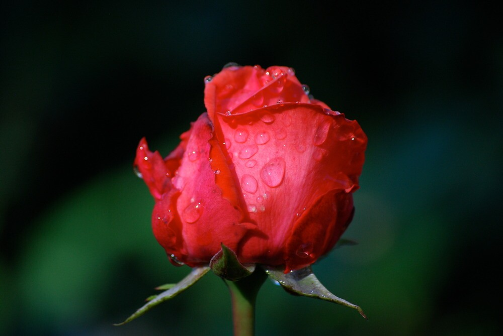 Rosy Red Rose... by Carol Clifford
