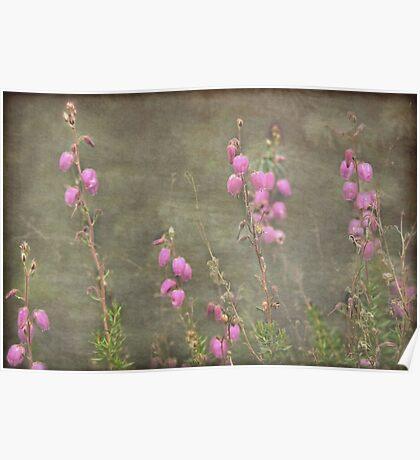 A melody of soft pink Irish Heath Poster
