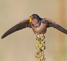 Barn Swallow on Mullein 7 by kurtbowmanphoto