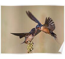 Barn Swallow Feeding 11 Poster