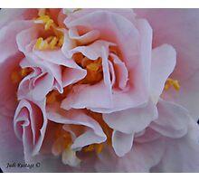 Camelia Japonica Photographic Print