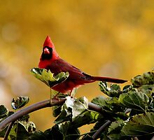 Startled Red Cardinal by Debbie Oppermann