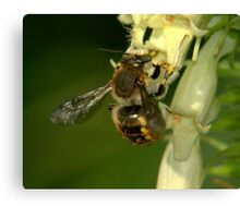 Busy Bee............... Canvas Print