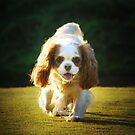 Cavalier King Charles Spaniels by Anthony Mancuso