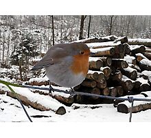 Robin Red Breast, Photographic Print