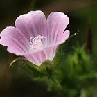 Mediterranean Mallow by marens