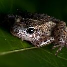 Macro Frog by Douglas Gaston IV