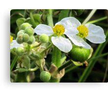 Broadleaf Arrowhead (Sagittaria latifolia)  Canvas Print