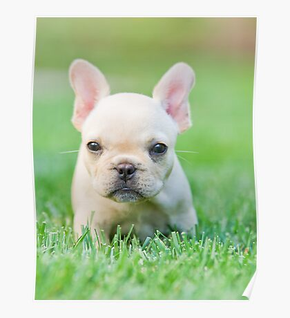 French Bull Dog Puppy Poster