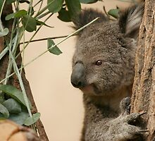 Koala in tree by tracilaw