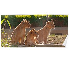 Three Lion Cubs in a Row Poster
