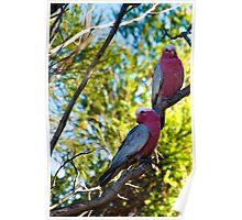 Garden Birds, Two Galahs  Poster