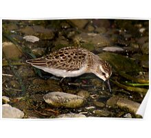 Semipalmated Sandpiper Feeding on Rocky Shore Poster