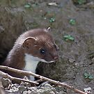 Stoat in the Hole by GrahamCSmith