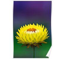 Yellow Strawflower Poster