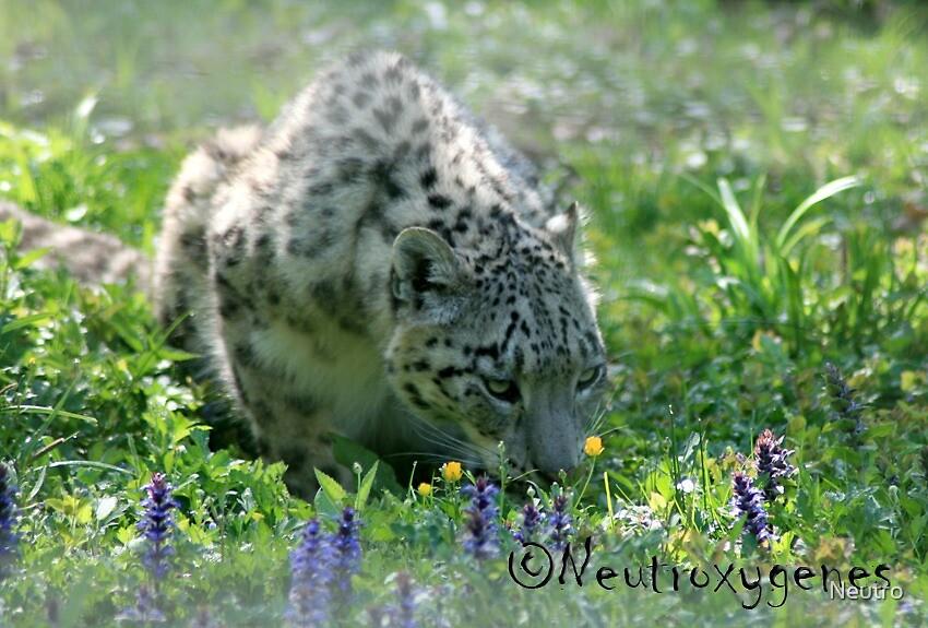 Snow leopard in spring by Neutro