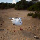 Cheeky Gull - Cape Mentelle WA by Chris Paddick