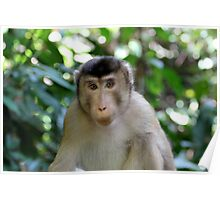 Long-tailed Macaque 1 Poster