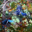 Blue Jay in Mid Flight by Diane  Kramer