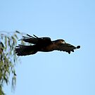 Dark Morph Red Tail In Flight  by DARRIN ALDRIDGE
