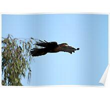 Dark Morph Red Tail In Flight  Poster