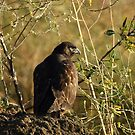 Red Tail Eagle Eye by DARRIN ALDRIDGE
