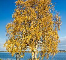 Yellow birch by Ingvar Bjork Photography
