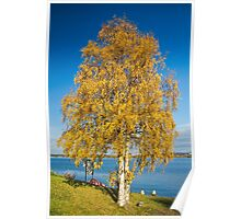 Yellow birch Poster
