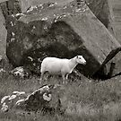 Pembrokeshire Sheep by itchingink