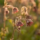 Water avens by Skye Hohmann