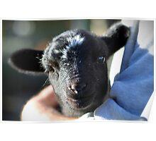 Lamb Cuddles Poster