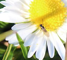 Daisy and friend. by suzannenz