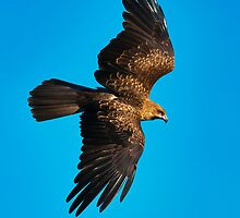 Whistling Kite by Chris  Randall
