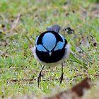 Daddy Blue Wren by anneisabella