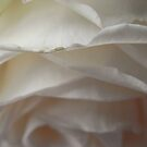 Hanging White Rose by lissygrace