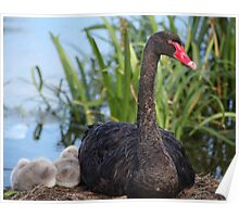 Black Swan & Cygnet Poster