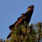 Stunning Black Cockatoo by anneisabella