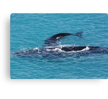 Southern Right Whales. Head of the Bight S.A Canvas Print