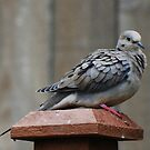 Lovely Mourning Dove by Marjorie Wallace