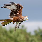 Red Kite by Margaret S Sweeny