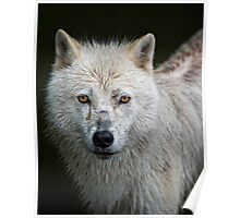 Portrait of an Arctic Wolf Poster