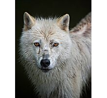 Portrait of an Arctic Wolf Photographic Print