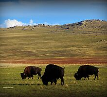 Bison on Antelope Island by Charmiene Maxwell-Batten
