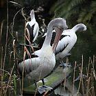 Pelicans by Melanie  Barker