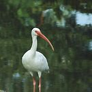 American Ibis by glennc70000