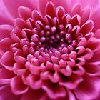 Beautiful pink flower close-up by SunshineSong