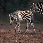 Baby Zebra by Melanie  Barker