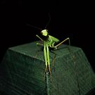 mantis by pjm123