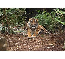 Tiger - Melbourne Zoo Photographic Print