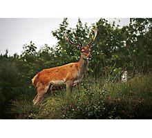 Red deer II Photographic Print